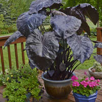 Colocasia 'Black Coral'