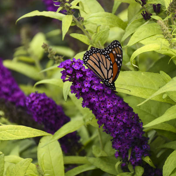 Buddleia 'Crown Jewels' Butterfly Bush