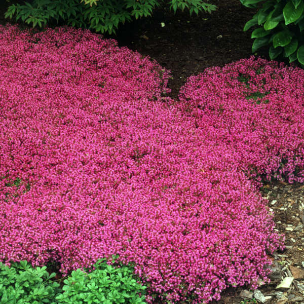 Thymus 'Coccineus' Red Creeping Thyme
