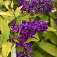 Buddleia 'Gold Drop'