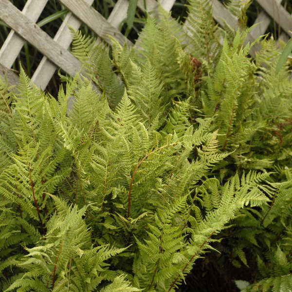 Athyrium 'Lady in Red' Lady Fern