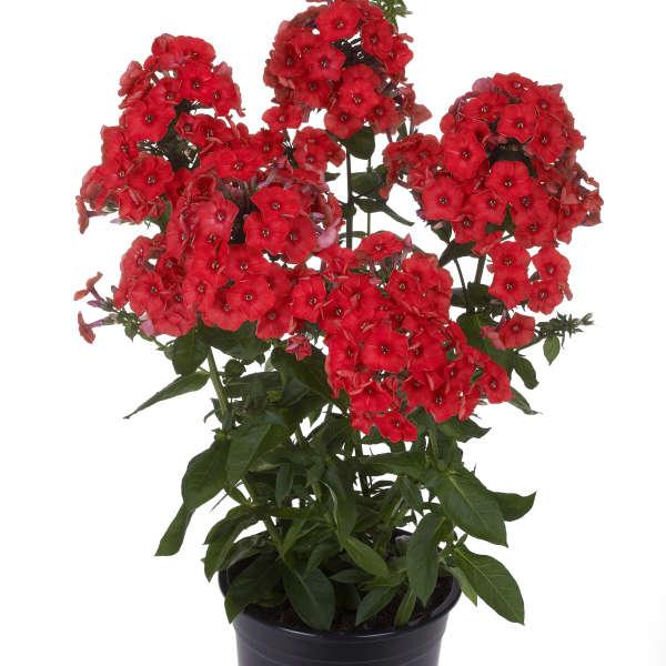 Phlox FLAME™ Series Red Tall Garden Phlox