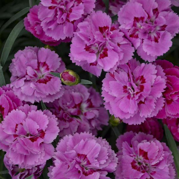 Dianthus 'Goody Gumdrops' Pinks