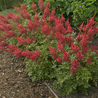 Astilbe 'August Light'