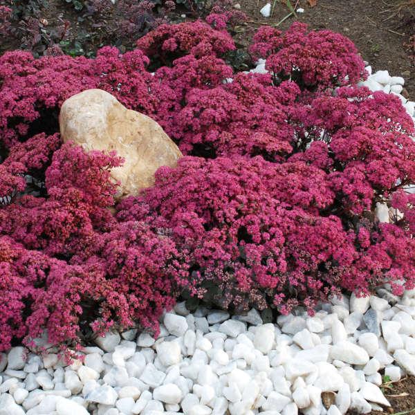 Sedum 'Dazzleberry' Stonecrop