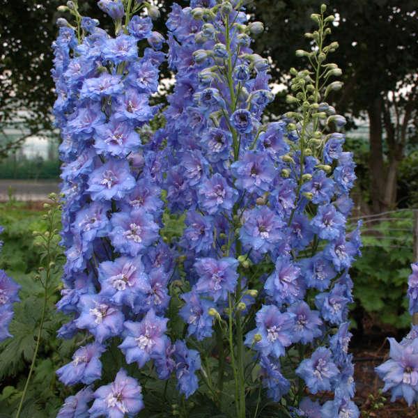 Delphinium 'Blue Lace' Hybrid Bee Delphinium