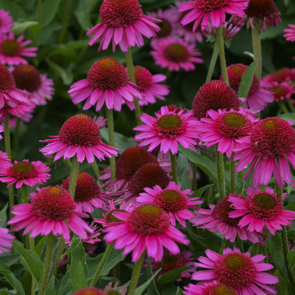 Echinacea 'Delicious Candy' Coneflower
