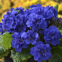 Primula BELARINA&#174 COBALT BLUE