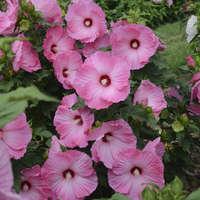 Hibiscus 'Airbrush Effect'