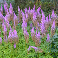 Astilbe 'Purple Candles'