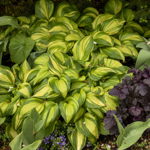 Hosta 'Rainbow's End' Hosta
