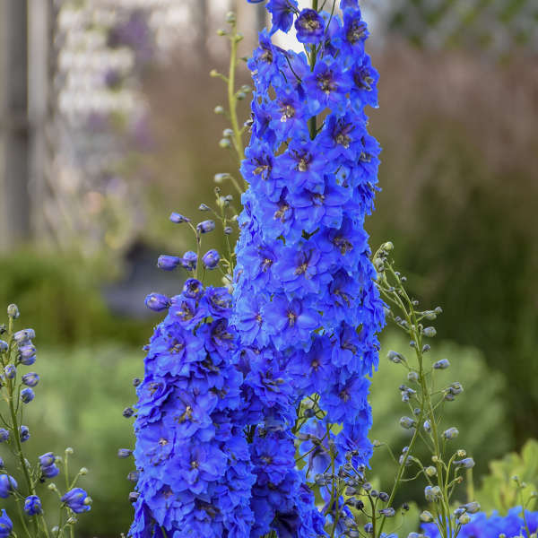 Delphinium 'Million Dollar Blue' Hybrid Bee Delphinium