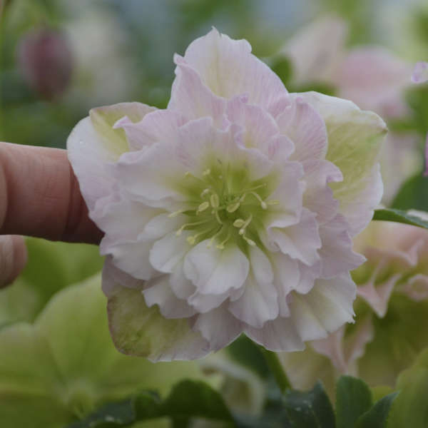Helleborus 'Flower Girl' Lenten Rose