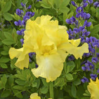 Iris 'Harvest of Memories'