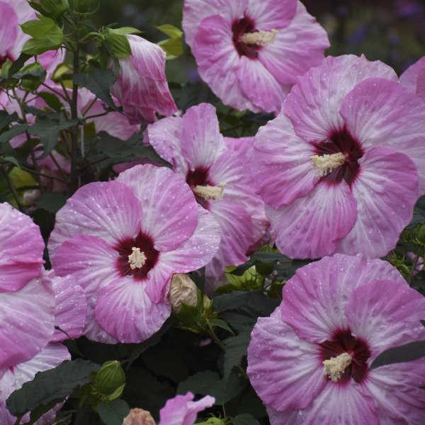 Hibiscus 'Spinderella' Rose Mallow