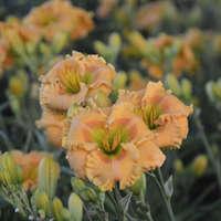 Hemerocallis 'Orange Smoothie'