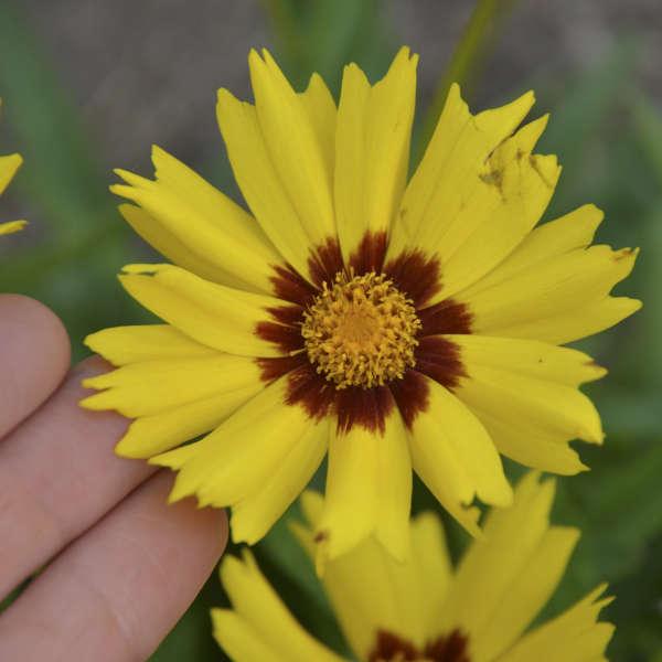 Coreopsis 'SunKiss' Tickseed