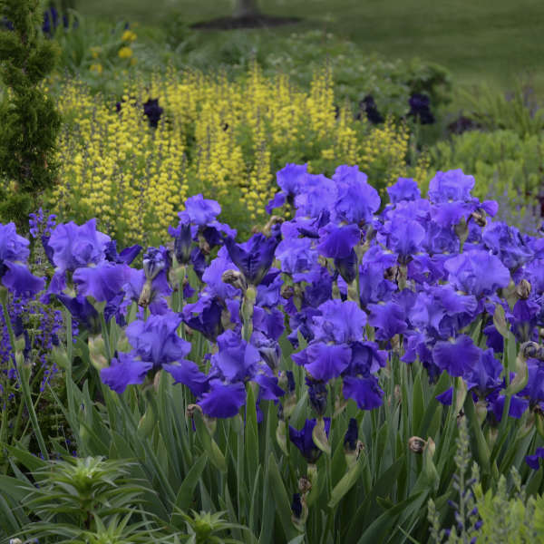 Iris 'Feed Back' Tall Bearded Iris