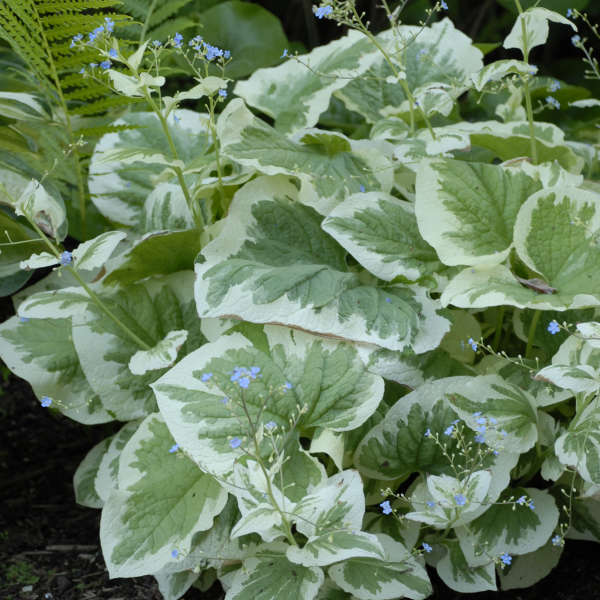 Brunnera 'Variegata' Heartleaf Brunnera