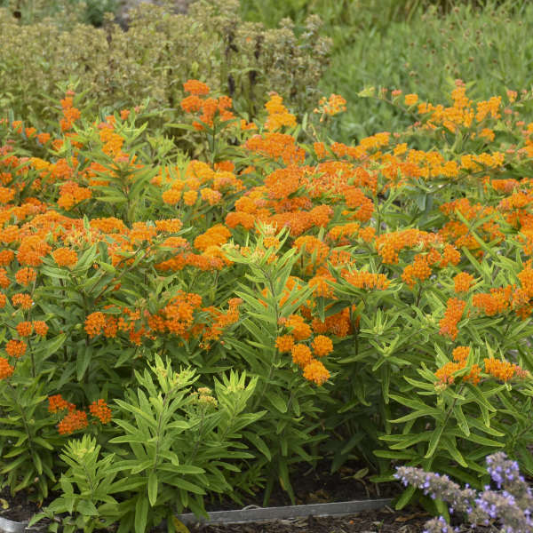 Asclepias tuberosa Butterfly Weed