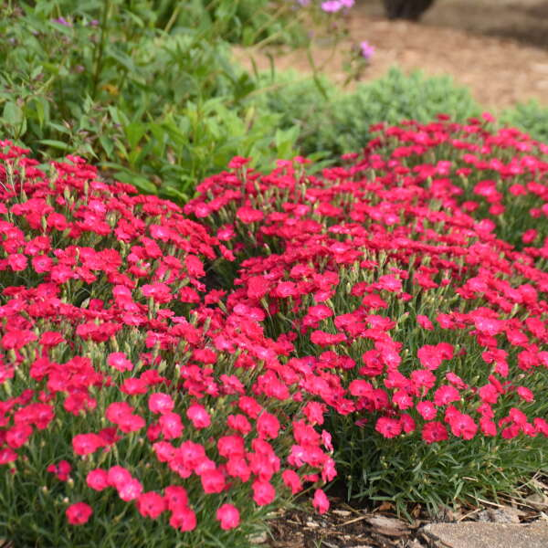 Dianthus 'Paint the Town Red' Pinks