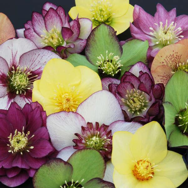 Helleborus WINTER THRILLER&#8482 Series - Mixed Lenten Rose