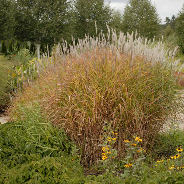 Miscanthus 'Purpurascens' Flame Grass