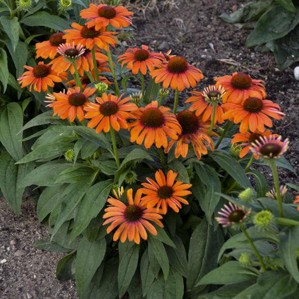 Echinacea 'Orange You Awesome' Coneflower