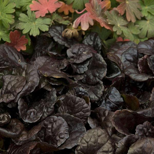 Ajuga 'Black Scallop' Bugleweed