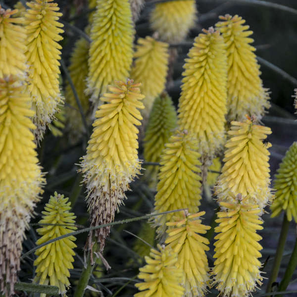 Kniphofia 'Lucky Lemons' Red Hot Poker
