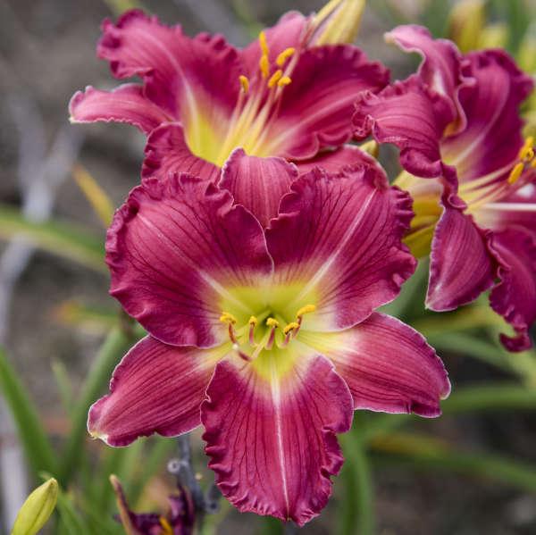 Hemerocallis 'Romantic Returns' Daylily