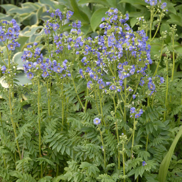 Polemonium 'Heavenly Habit' Jacob's Ladder