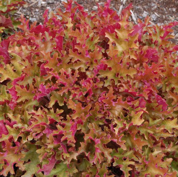 Heuchera 'Marmalade' Coral Bells