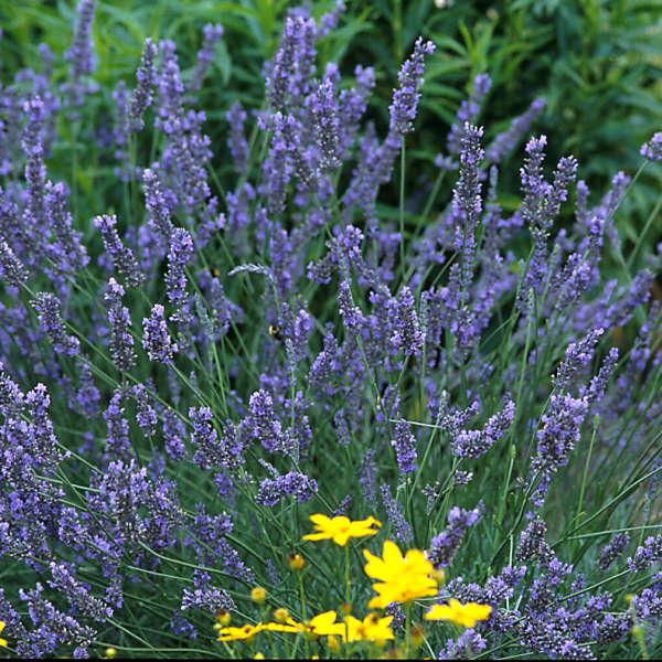 Lavandula 'Grosso' English Lavender
