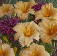 Hemerocallis 'Apricot Sparkles'
