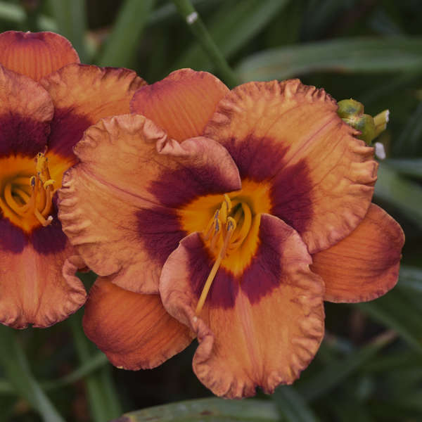 Hemerocallis 'Mighty Chestnut' Daylily