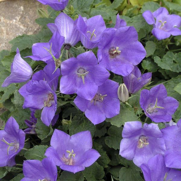 Campanula CLIPS® Blue Carpathian Bellflower