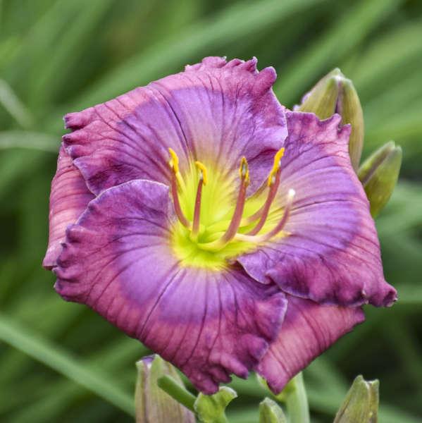 Hemerocallis 'Lavender Blue Baby' Daylily