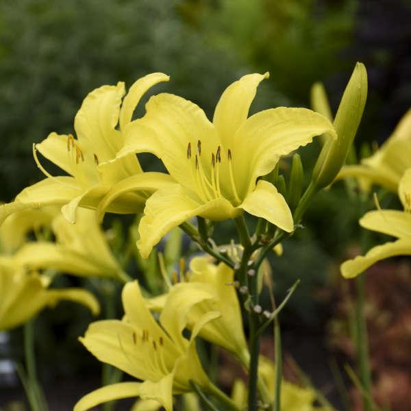 Hemerocallis 'Hyperion' Daylily