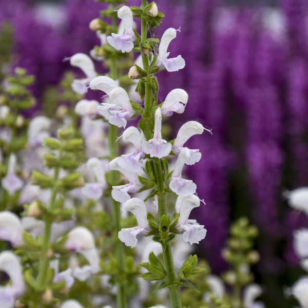 Salvia 'Snow Kiss' Perennial Salvia