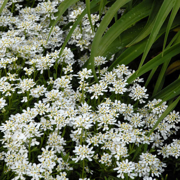 Iberis 'Snowflake' Evergreen Candytuft
