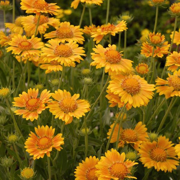 Gaillardia 'Oranges & Lemons' Blanket Flower