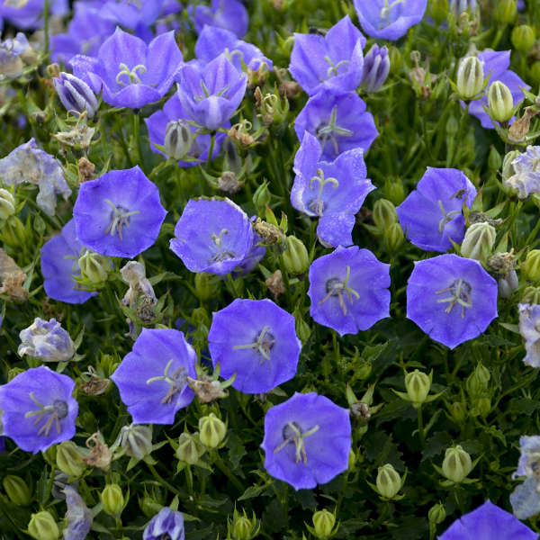 Campanula 'Rapido Blue' Carpathian Bellflower