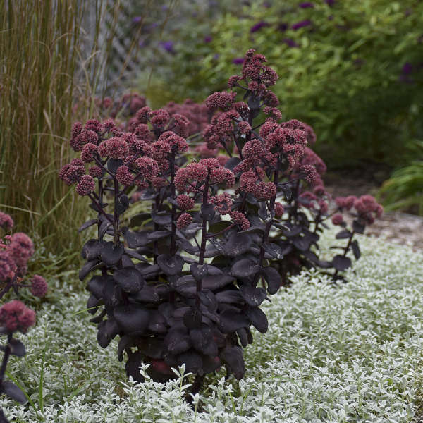Sedum 'Night Embers' Autumn Stonecrop