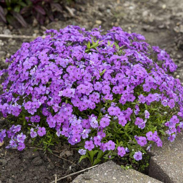 Phlox 'Purple Sprite' Hybrid Spring Phlox
