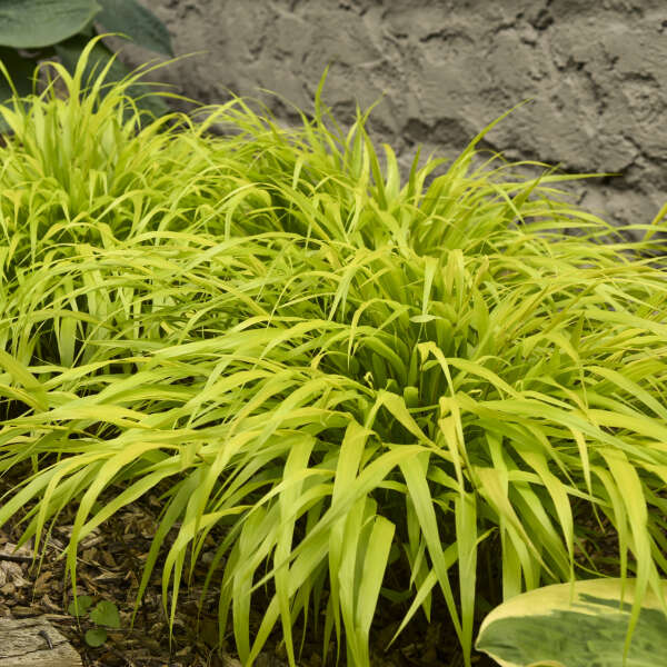 Hakonechloa 'All Gold' Hakone Grass