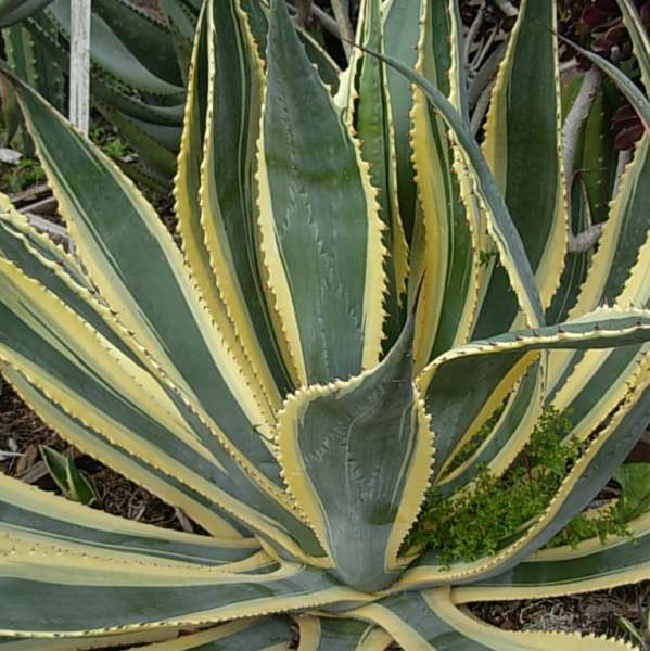 Agave Americana Opal Perennial Resource