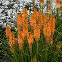 Kniphofia 'Orange Blaze'
