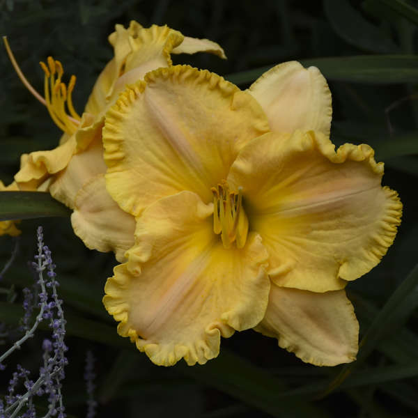 Hemerocallis 'Collier' Daylily