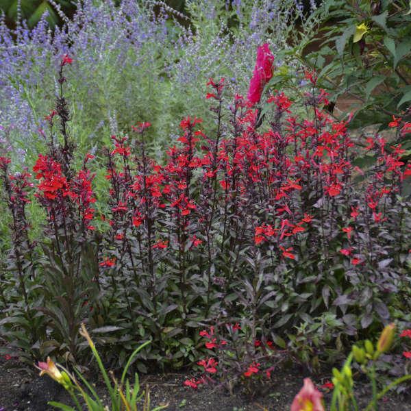 Lobelia Speciosa Fan Scarlet Perennial Resource